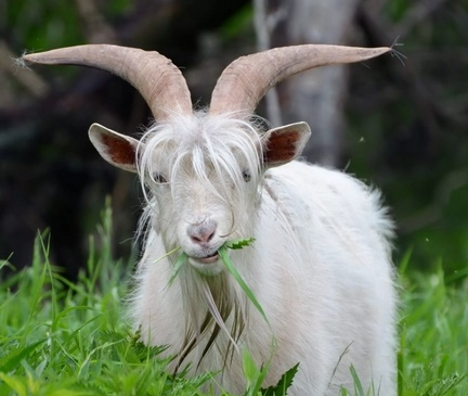 пословицы и поговорки про козла
