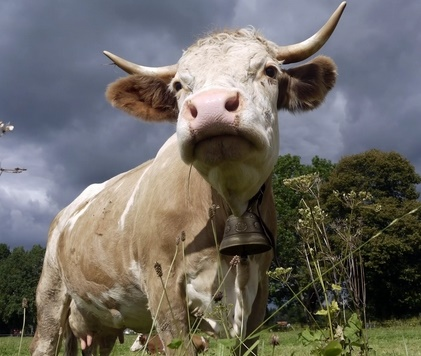 пословицы и поговорки про корову