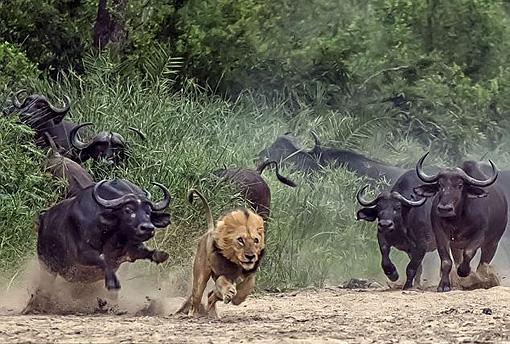 буйволы атакуют льва