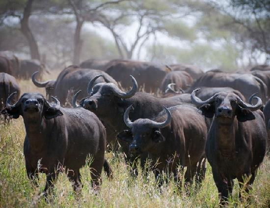 Read more about the article Интересные факты о буйволах