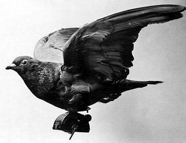 голуби в первую мировую войну