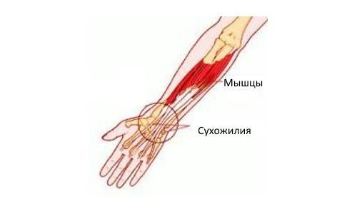 сухожилия рук