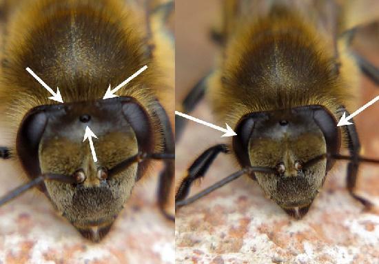 у пчел 5 глаз