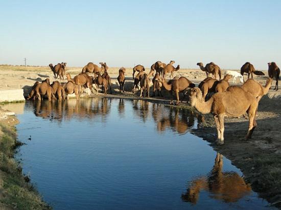 верблюды пьют