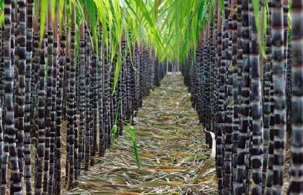 бразилия сахарный тростник