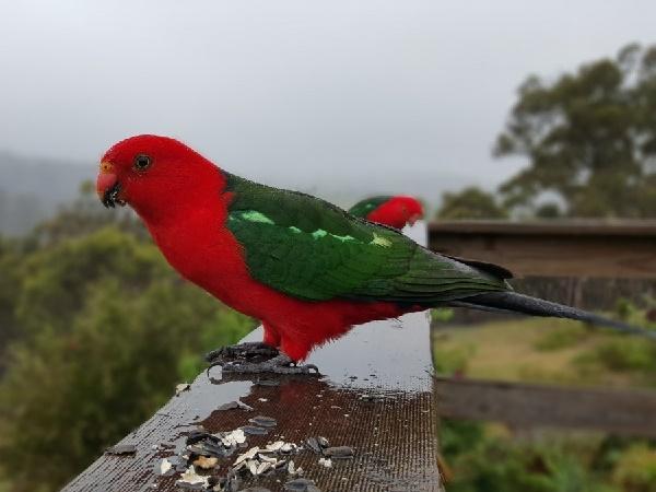 дикие попугаи