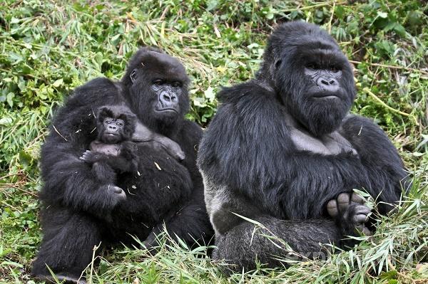 Read more about the article Интересные факты о гориллах