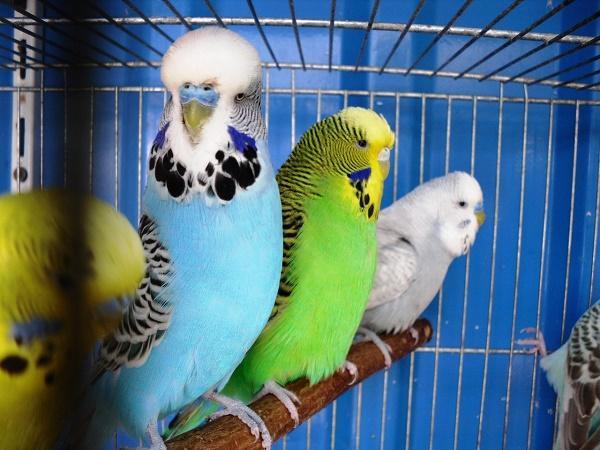 разведение попугаев в чехии