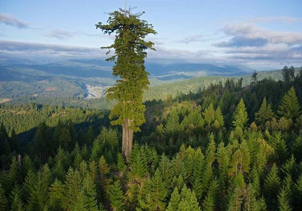 самая высокая секвойя в мире