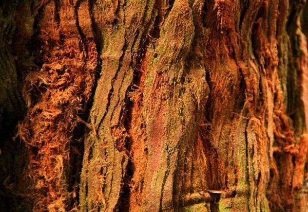 секвойя кора