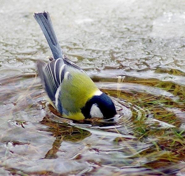 синица пьет воду