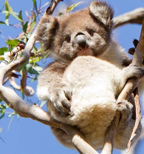 беременная коала
