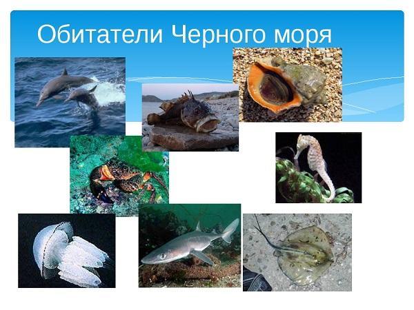 черное море обитатели