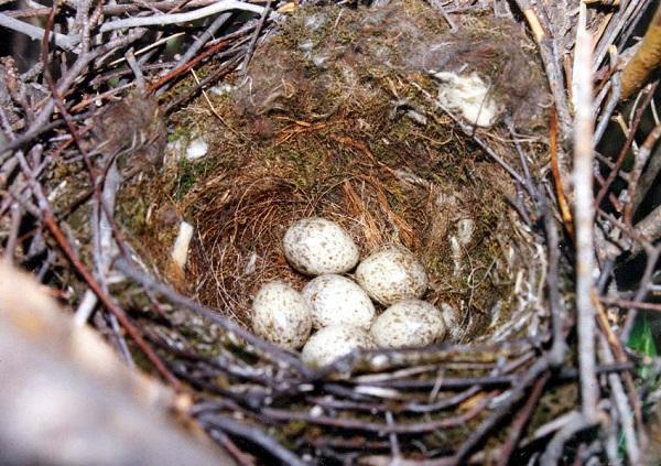 гнездо сорок с яйцами