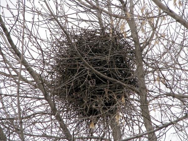 гнездо сорок
