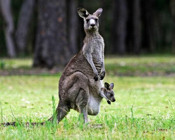 Read more about the article Интересные факты о кенгуру