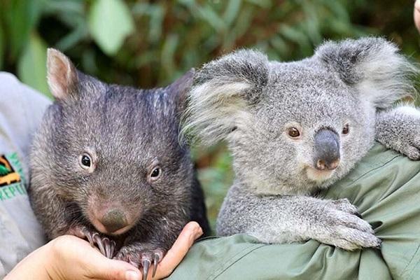 коала и вомбат