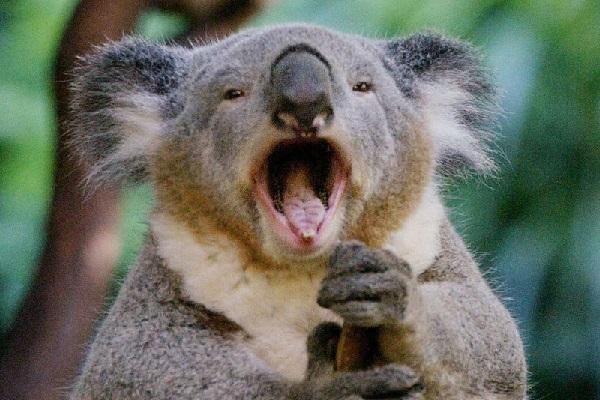 коала самец