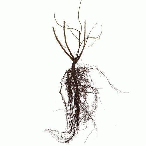 шиповник корни