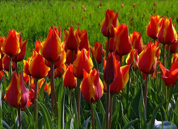 Read more about the article Интересные факты о тюльпанах