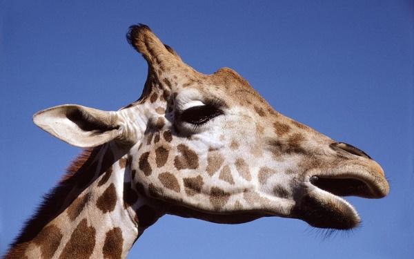 жираф мычит