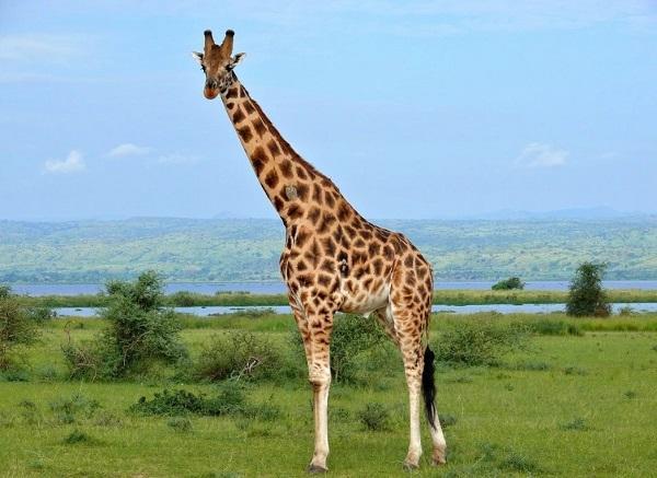 жираф самое высокое животное