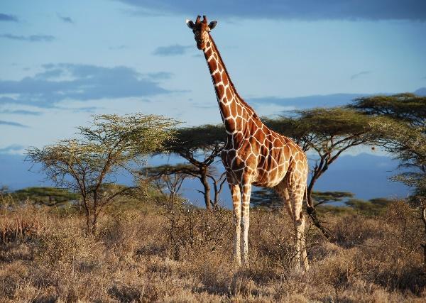 Read more about the article Интересные факты о жирафах