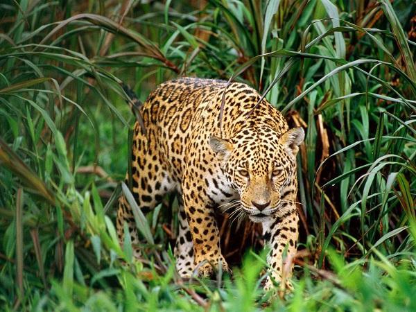 Read more about the article Интересные факты о леопардах