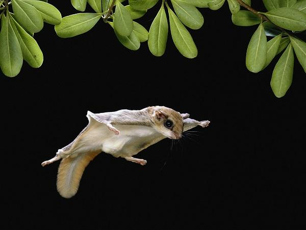 летяга